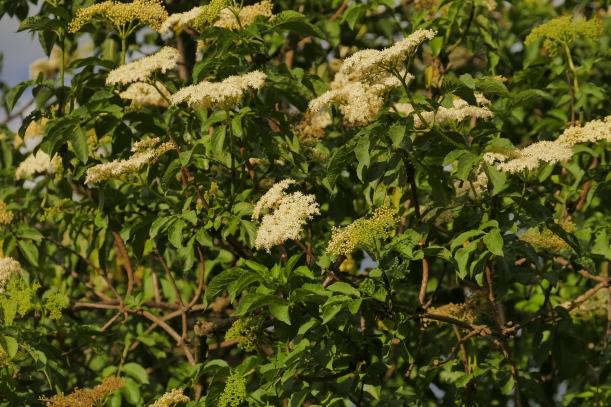 Leicht gelblichen Blüten.Die gegenständigen Laubblätter sind unpaarig gefiedert.